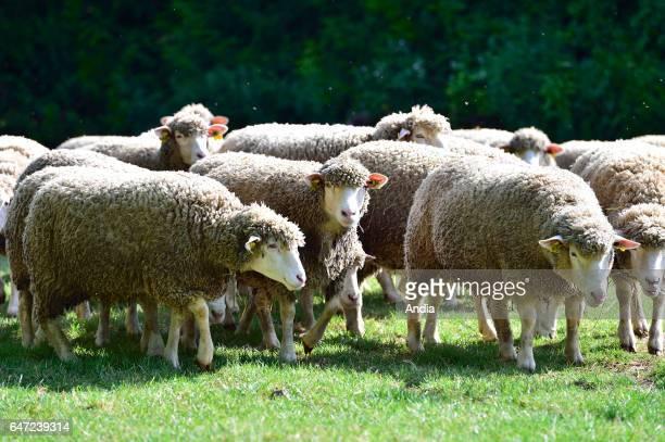 IledeFrance sheep