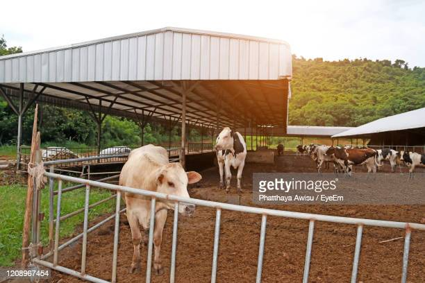 agriculture industry, farming and animal husbandry herd of cows on farm - allevamento foto e immagini stock