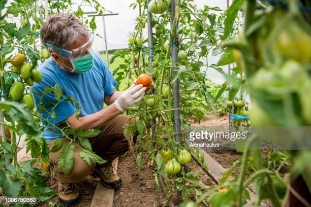 agriculture inspector controlling the tomato - insecticide stock pictures, royalty-free photos & images