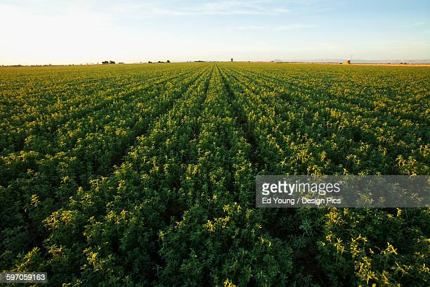 Agriculture - Large field of mature alfalfa ready for cutting in early morning light / Imperial Valley, California, USA.