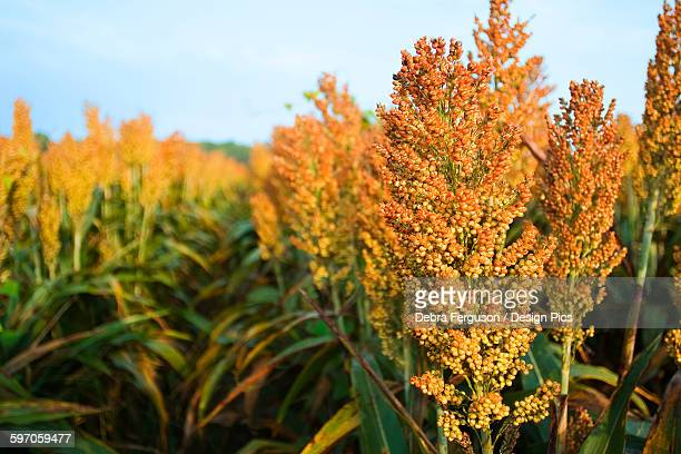 Agriculture - Mature harvest ready crop of grain sorghum (milo) / near Greenwood, Mississippi, USA.
