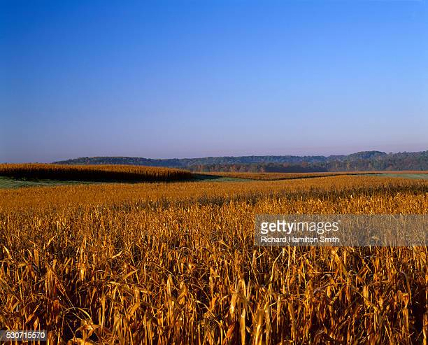 agriculture - mature, harvest ready, rolling grain corn field in afternoon autumn light (sequence 2 of 3); near ellsworth, wisconsin, usa. - iron_county,_wisconsin stock pictures, royalty-free photos & images