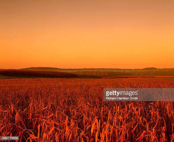 agriculture - mature, harvest ready, rolling grain corn field in late afternoon autumn light (sequence 3 of 3); near ellsworth, wisconsin, usa. - iron_county,_wisconsin stock pictures, royalty-free photos & images