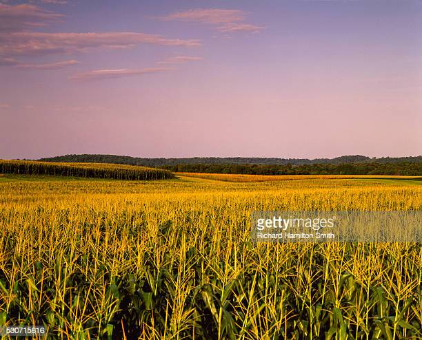 agriculture - mid growth fully tasseled rolling grain corn field in late afternoon summer light (sequence 1 of 3); near ellsworth, wisconsin, usa. - vilas_county,_wisconsin stock pictures, royalty-free photos & images