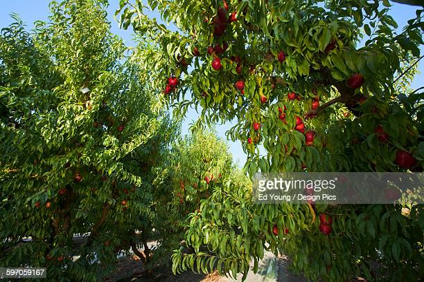 Agriculture - Nectarine orchard in summer with ripe harvest ready nectarines on the trees / near Fowler, San Joaquin Valley, California, USA.