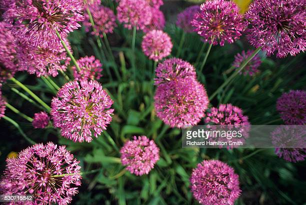 agriculture - ornamental onion blossoms (allium aflatunence); wisconsin, usa. - staadts,_wisconsin stock pictures, royalty-free photos & images
