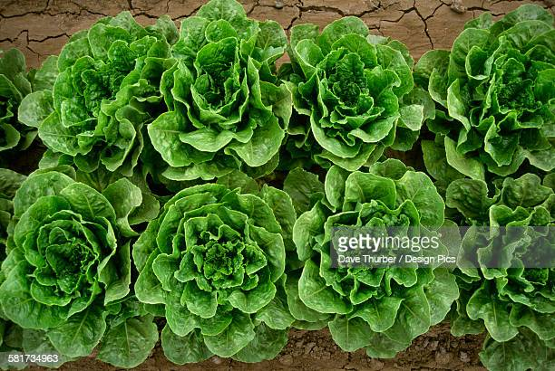 agriculture - romaine lettuce in the field / salinas valley, california, usa. - romaine lettuce stock photos and pictures