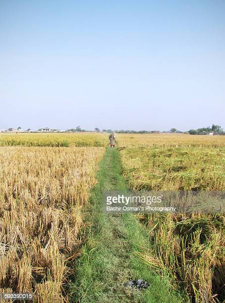 Agriculture sector of Pakistan