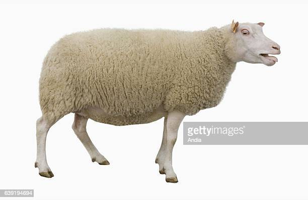 sheep breeding Charmoise ewe outlined