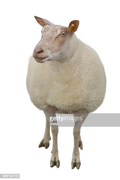 sheep breeding Rouge de l'Ouest ewe outlined