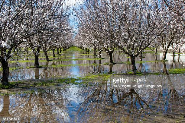 agriculture - standing water in a blooming almond orchard cause by excessive rain / near manteca, california, usa. - california flood stock photos and pictures
