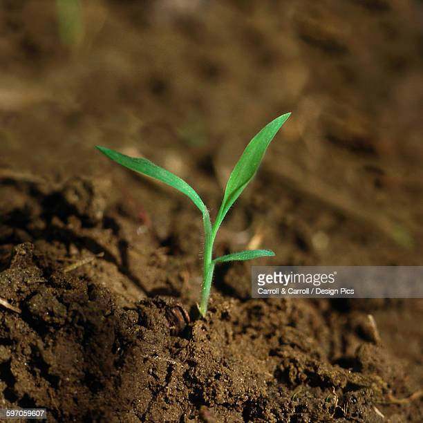 agriculture - weeds, hairy crabgrass (digitaria sanguinalis), seedling / ontario, canada. - crabgrass stock pictures, royalty-free photos & images