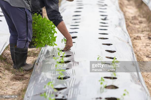 agriculturist planting with mulching to weed of agriculture organic farming, farmers grow crops by mulching. - mulch stock pictures, royalty-free photos & images