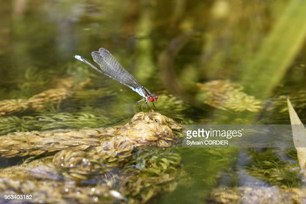 Agrion jouvencelle Azure Damselfly Coenagrion puella Classe Insectes Ordre Odonates Famille Coenagrionides