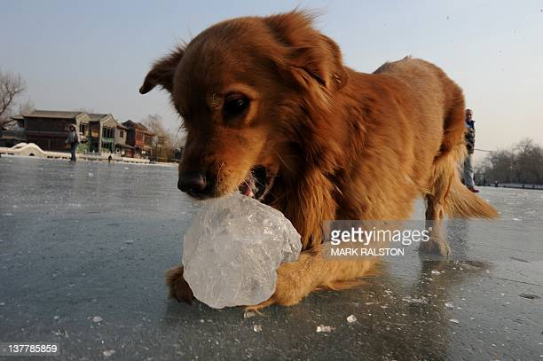Ah Leng the dog chews on ice at the Houhai lake during the Lunar New Year holiday at the start of the 'Year of the Dragon' in Beijing on January 27...
