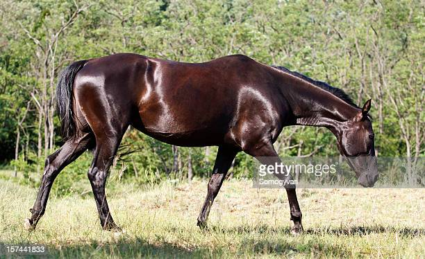 ahal-teke horse - turkmenistan stock pictures, royalty-free photos & images