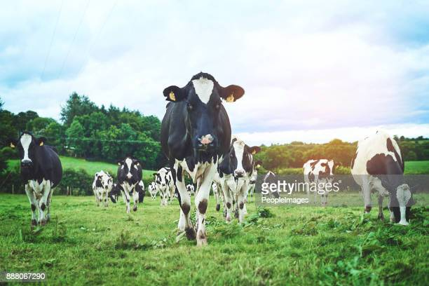 ahead of the herd - livestock stock pictures, royalty-free photos & images