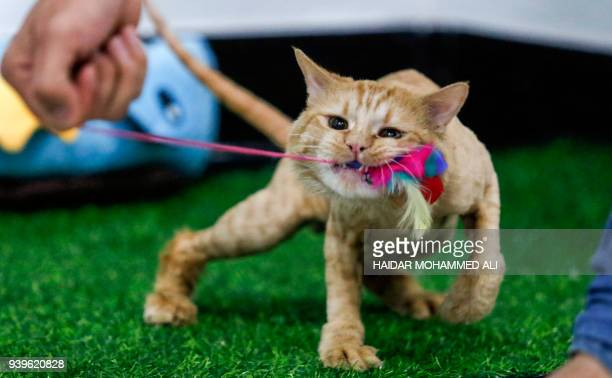 Ahmad Taher a 24yearold senior veterinary student attends to cats staying for short periods at a cat hotel which he manages in the southern Iraqi...