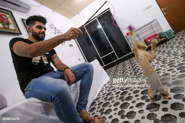 Ahmad Taher a 24yearold senior veterinary student plays with cats staying for short periods at a cat hotel which he manages in the southern Iraqi...