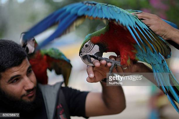 Ahmed Jomaa 20yearsold a Zookeeper of Rafah zoo recieves a playful bite on his fingers from a redblue Macaw at a Zoo in Rafah city in the southern of...