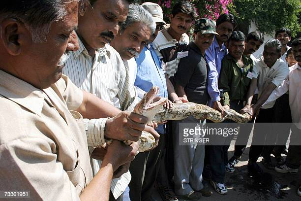 Indian animal keepers have a close look at a huge Indian Rock Python, about 11 feet in length, weighing nearly 25 kg and about 11 years old at the...