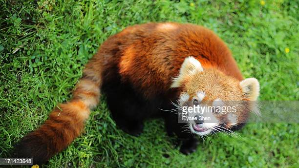 ailurus fulgens - red panda stock pictures, royalty-free photos & images