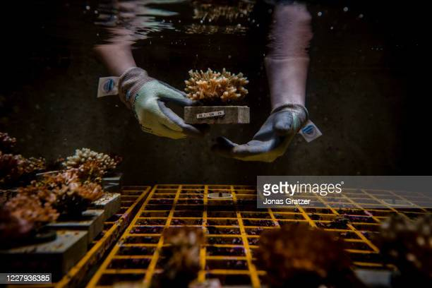 Aims scientist are trying to breed corals that can withstand higher water temperatures. In the quest to save the Great Barrier Reef, researchers,...