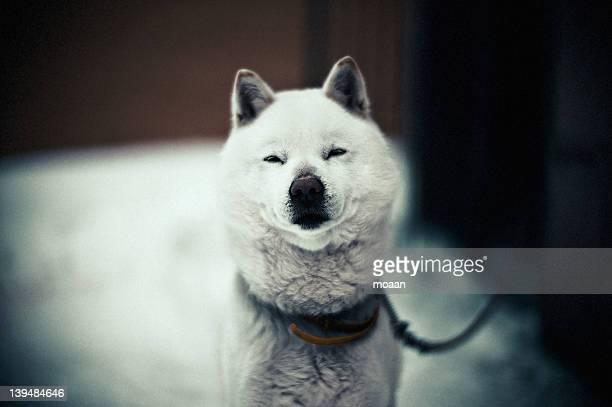 ainu dog - mutsu imagens e fotografias de stock