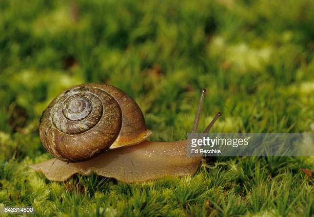 air breathing pulmonate or land snail (mesodon thyroidus) eastern deciduous forest - ed reschke photography stock photos and pictures