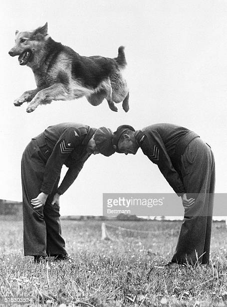"Air Dog First Class ""Vincent"" clears a human arch during a practice session at the Staverton RAF Dog Training Centre. Seventy German shepherds in all..."