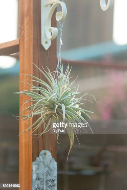 Air plant hanging to the wood column