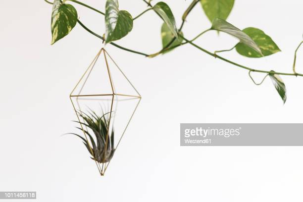 Air plant in a pendant