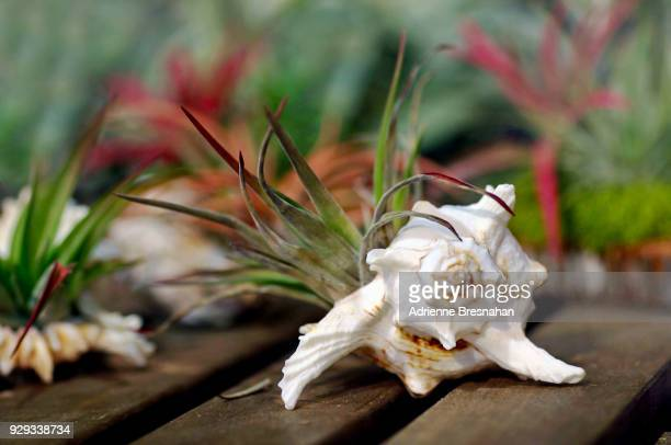 Air Plant in a Seashell on a Table