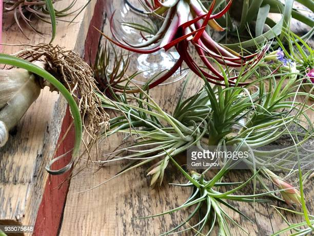 Air plant in bloom