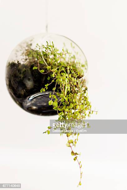 Air Plants Growing In Hanging Glass Globe Terrarium Container