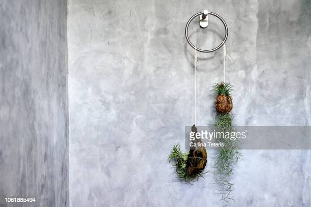 air plants hanging on a concrete wall - epiphyte stock pictures, royalty-free photos & images