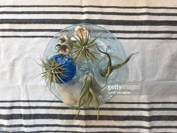 Air Plants in Glass Vases