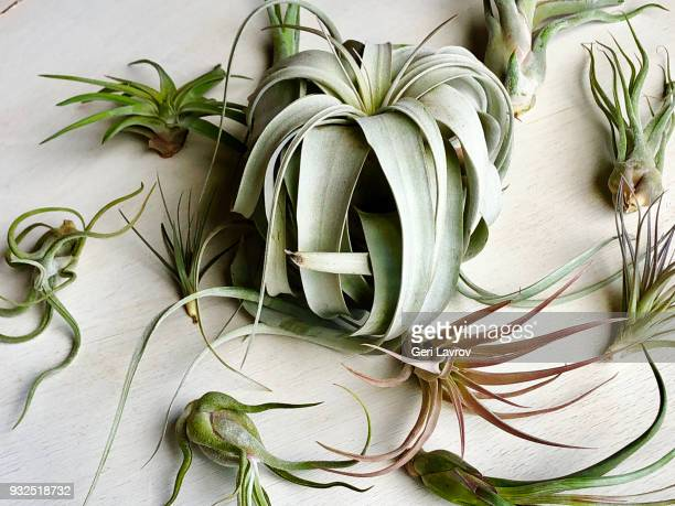 air plants - epiphyte stock pictures, royalty-free photos & images
