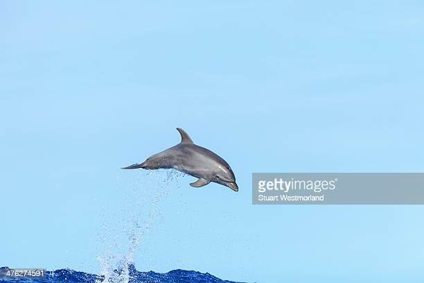 Airborn juvenile dolphin