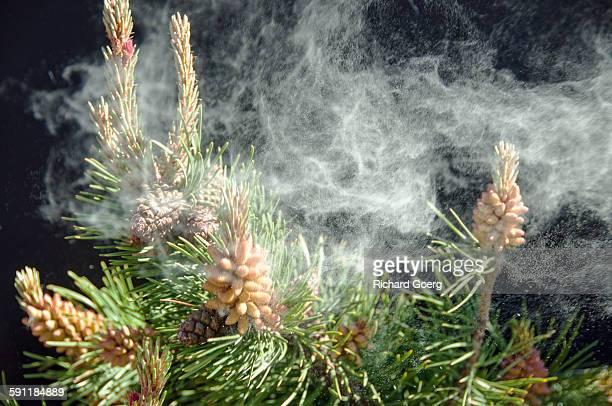 Airborne pine pollen