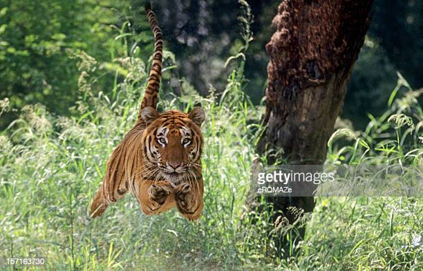 air-borne tiger - bengal tiger stock pictures, royalty-free photos & images