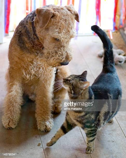 Airedale dog and tabby cat
