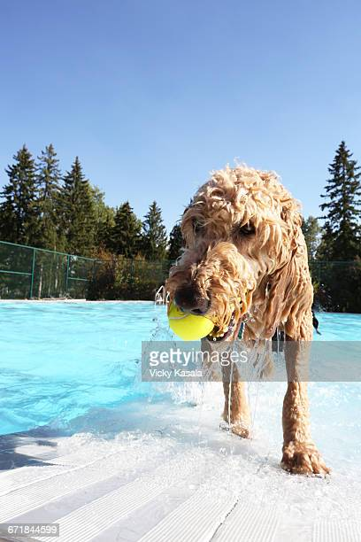 Airedale dog retrieving ball from pool.