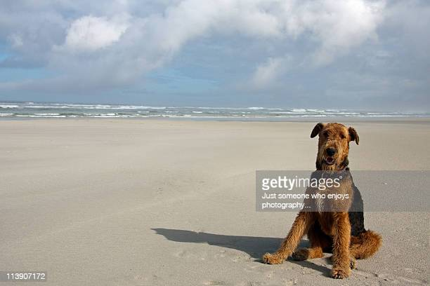 Airedale Terrier by the sea