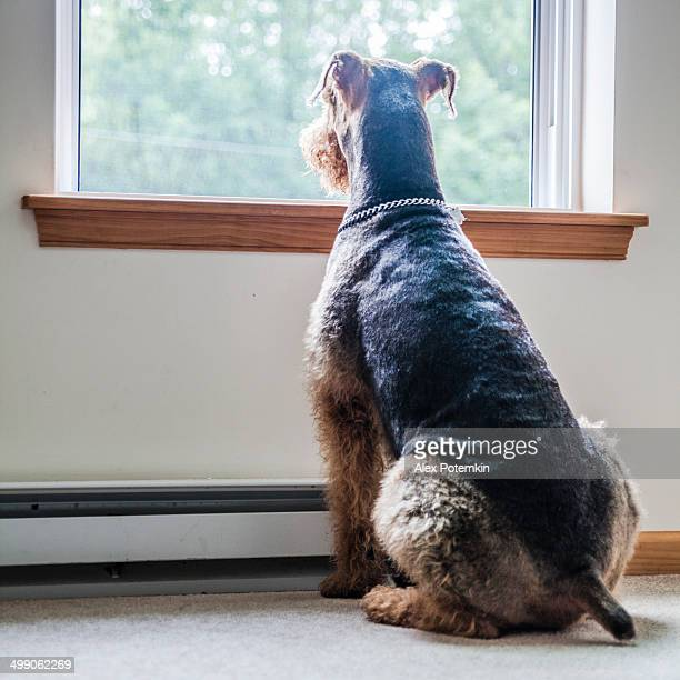 Airedale terrier dog looking through window