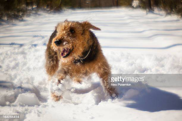 Airedale terrier dog play in snow