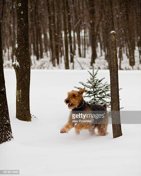Airedale terrier dog run in snow