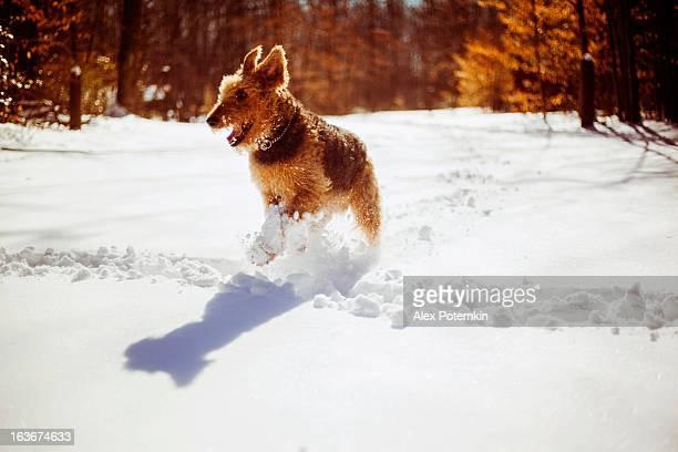 Airedaleterrier Hund Laufen im Schnee