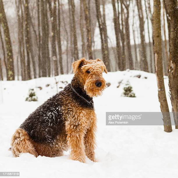 Airedale terrier dog sitting in snow