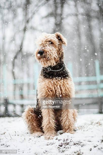 Airedale terrier dog sitting under snowfall